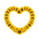 11850484-sunflower-heart-image-isolate-on-white